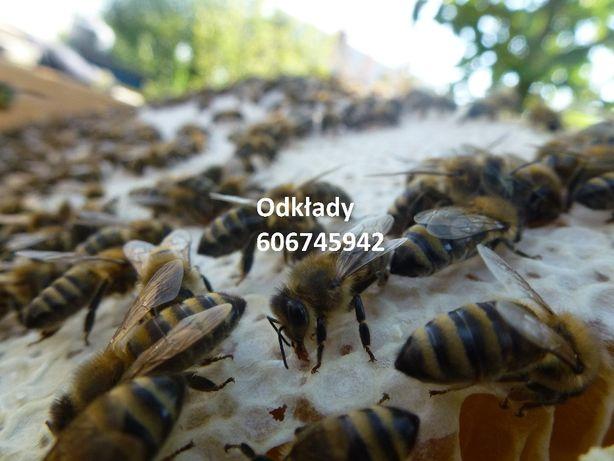 Odkłady pszczele 2021 Pszczoły, matki, Apis melifera, Ule, z wysylką