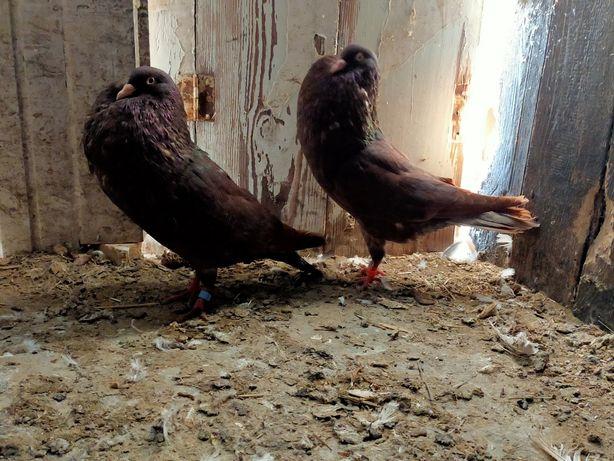 Gołębie Stawaki Garłacze Sztaficer Czerwona Para Wysyłka