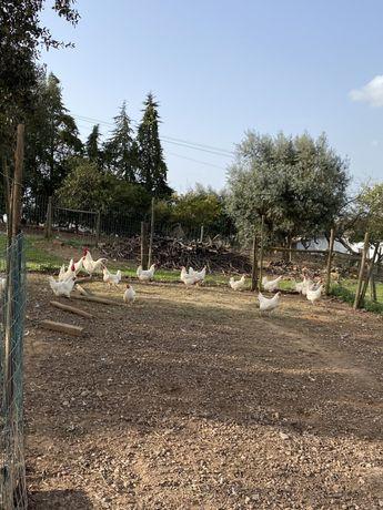 Ovos de galinha la bresse gauloise branca (12 ovos)