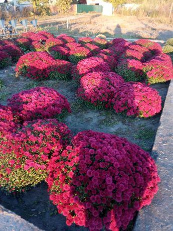 Продам хризантему мультифлора