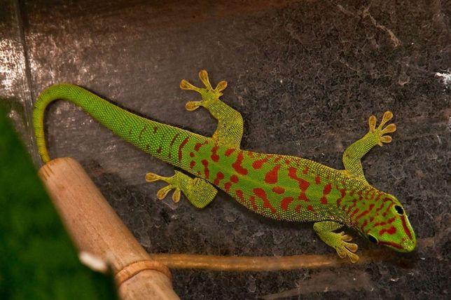 Jaszczurka Gekon madagaskarski wysoka czerwien