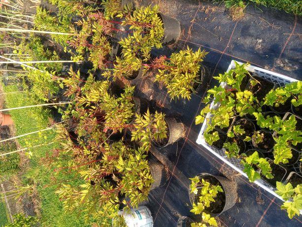 Sadzonki Wieprz kwiaty- krzewy ogrod NISKIE CENY