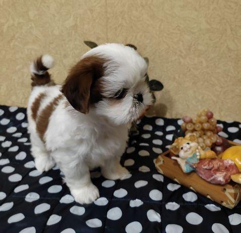 Кукольные малыши ши-тцу