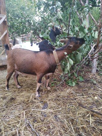 Камерунская козочка