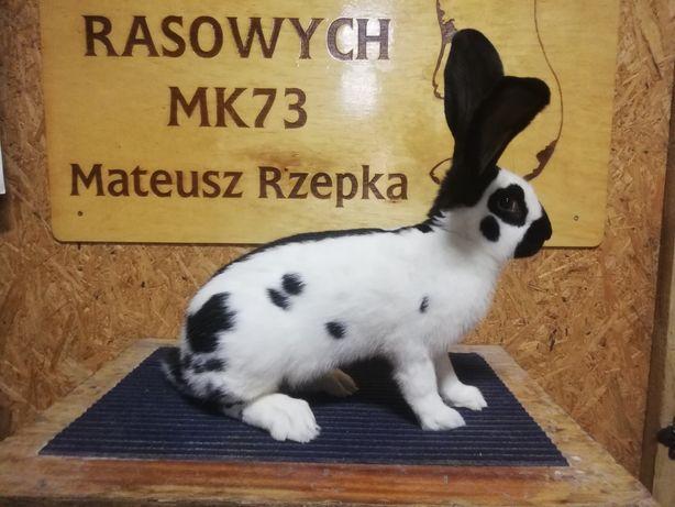 Olbrzym srokacz czarny samiec króliki rodowód