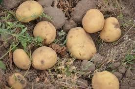 BIO Ziemniaki: Bellarosa, Satina, Owacja, Tajfun. Wysyłka!