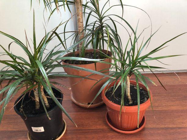 Пальмы Драцена густые и пушистые