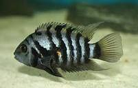 Dou peixe Nigrofasciatus 5/6cm