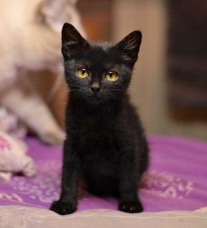 Черный котенок Измаил, необычный и обаятельный (2,5 месяца)