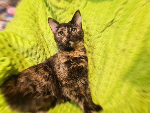 Очаровашка Вики, 5 мес, окрас черепаховый, кошечка, кот