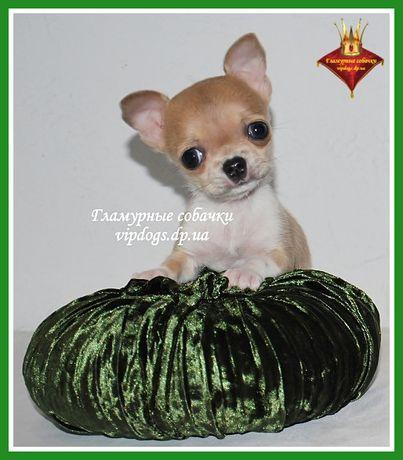 Чистокровные щенки чихуахуа с гарантиями. Международные документы КСУ.