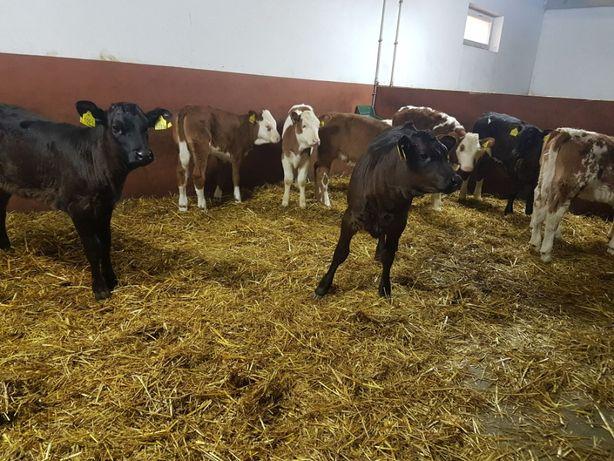 Pułtusk byczki 100% mięsne
