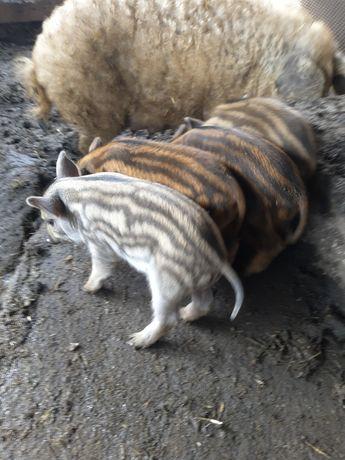 поросята свині пухова мангалиця
