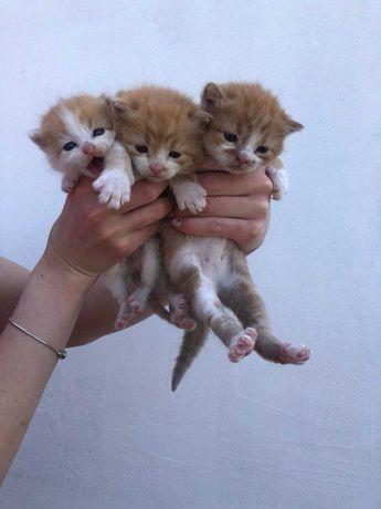 Риженькі кошенятка шукають свого господаря
