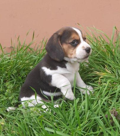 Śliczne szczeniaki Beagle.