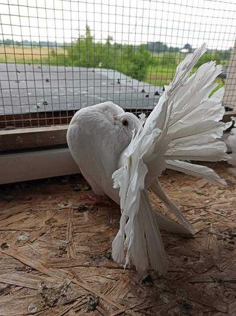Gołębie ozdobne do sprzedania
