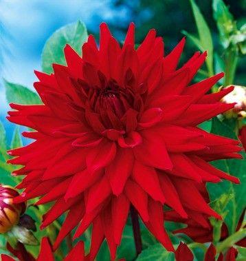 dalia kaktusowa czerwona