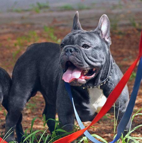 Голубые щенки ОЧЕНЬ высокого качества