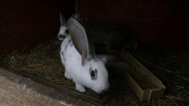 Sprzedam króliki 2 samce młode