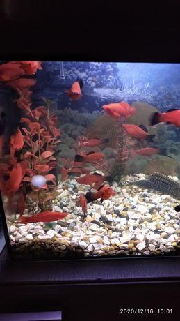 Sprzedam rybki mieczyki- samce