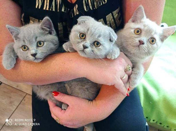 Koty Brytyjskie, Szkockie foldy zwisłouche zapowiedź miotu
