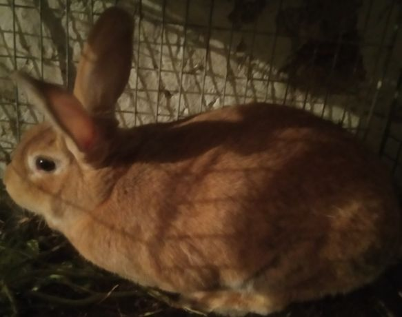 Кролі кролики кролиця