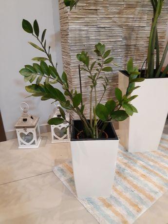 Kwiat Zamiokulkas- drzewo dolara lub kobiecego szczęścia .