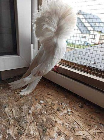 Gołębie ozdobne ... widoczne na fotkach