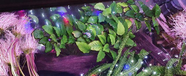 Roślina akwariowa - anubias - bardzo duży