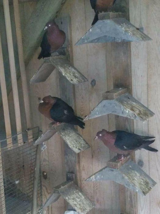 Sprzedam gołębie Niewodniki - image 1