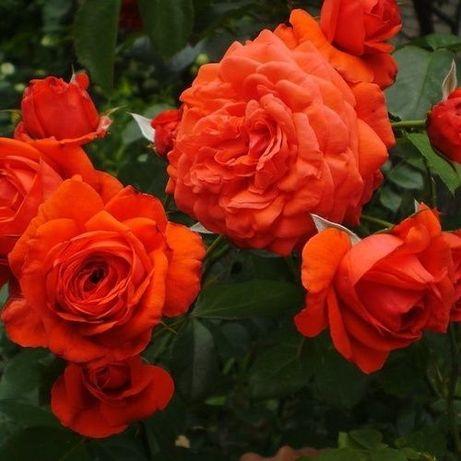 Саженцы плетистой розы крупно-цветковой Майн Тауэр двухлетки