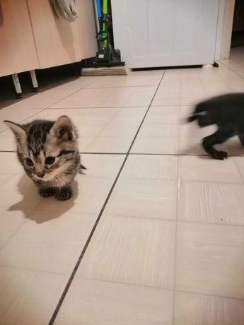 Кошенята, безпородні, 4хл та дівчинка