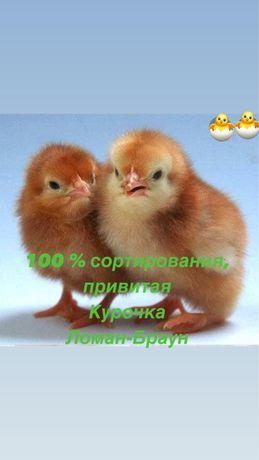 Курочка Ломан-Браун , цыплята яичного кросса