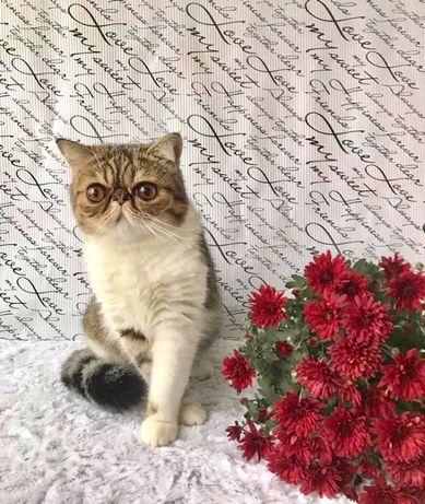 Котенок экзот с родословной