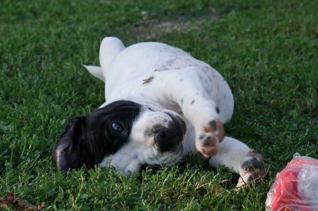 Staffordshire Bull Terrier ZKwP Staffik piesek DRIVE ME CRAZY po Ch.PL