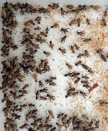 Сверчки банановые тараканы разные зофобас по 50коп львинка по 15-20коп