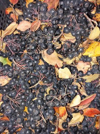 черноплодная рябина плоды