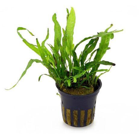 Microsorium minor - piękna roślina akwariowa