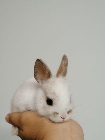 Coelhinhos Mini Holandês