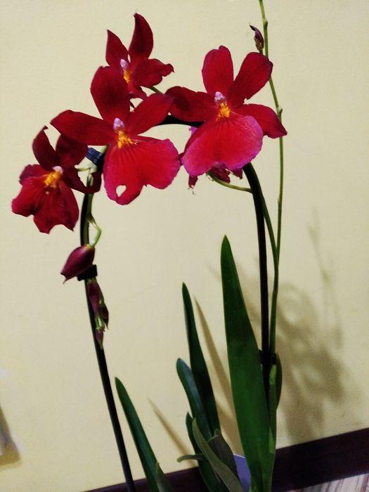 Орхідея Камбрія, каскад 300 грн Львов - изображение 1
