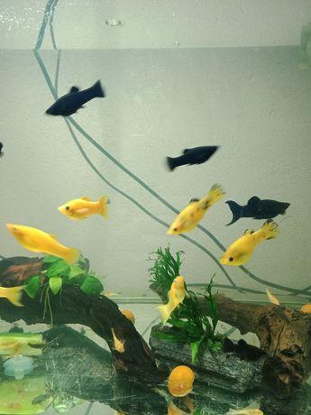 Molinezje żółte i czarne
