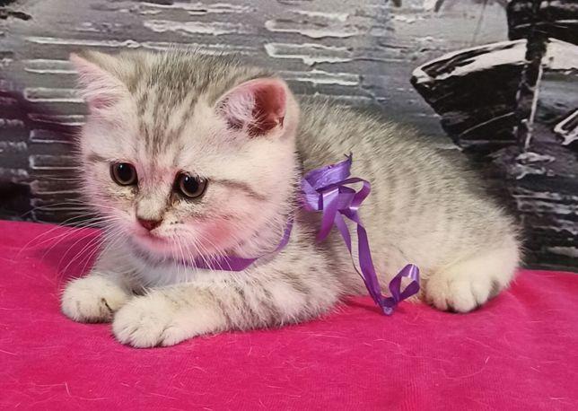 Прямоухие котята мальчики и девочки с необычным окрасом.