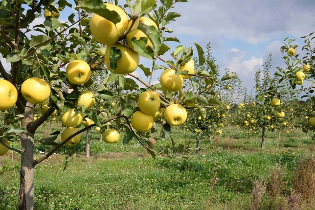 Саджанці (саженцы) яблуні, живці плодових (черенки), підщепа (подвой)