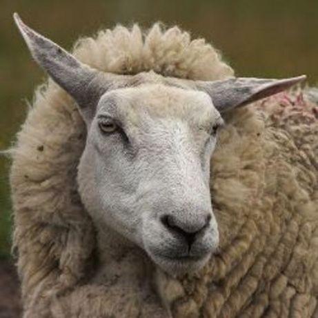 Продам   молоду овцу