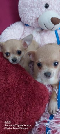 Chihuahua pieski
