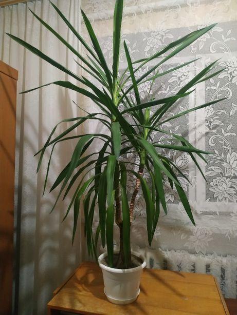 Вазон Юка Кімнатна рослина