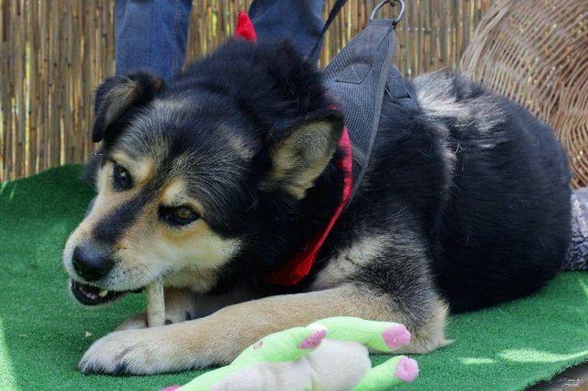 Duży silny kochający ludzi pies czeka na domek