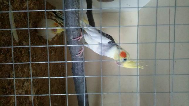 :Papugi nimfy