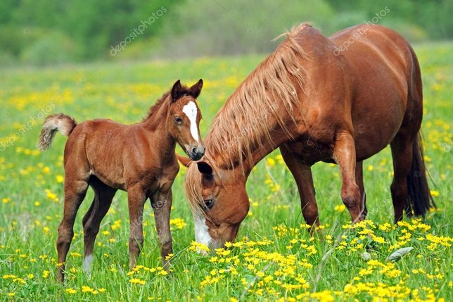 Коні, лошат продам жеребець 3 роки .лоша 1 рік і мале лоша