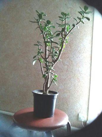 Деревцо толстянка, или денежное дерево